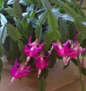 xms cactus